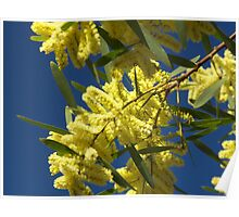 Yellow happiness (mimosa) Poster