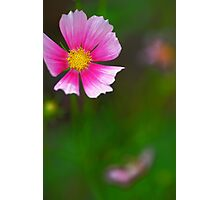 Pink cosmo in the garden. Photographic Print