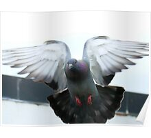 Rocky Rescued Rock Pigeon - NZ Poster