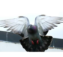 Rocky Rescued Rock Pigeon - NZ Photographic Print