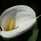Calla Lilly by Shaina Lunde
