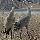 Cherokee Marsh Sandhill Cranes  by Thomas Murphy
