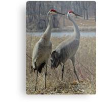 Cherokee Marsh Sandhill Cranes  Metal Print