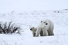 Polar Bear Mother & Cub in the Tundra by Carole-Anne