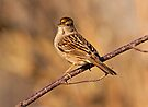 GOLDEN-CROWNED SPARROW by Sandy Stewart