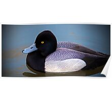 Greater Scaup  Poster