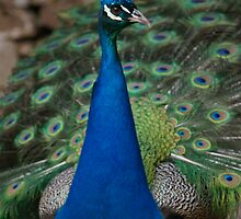 Peacock by nicolebartsch