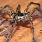 The Dirtiest Spider Ever Seen? by Aaron Murgatroyd