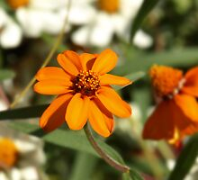 Orange zinnia by jean-louis bouzou
