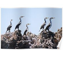 Sentries on guard - Pied Cormorants Poster