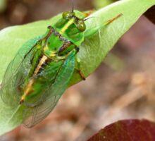 April Green Cicada - NZ Sticker