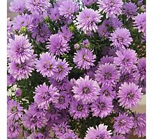 Easter daisies Photographic Print