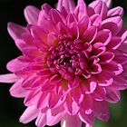 Hot Pink Dahlia by Joy Watson
