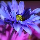 Daisy in Blue by Sheri Nye