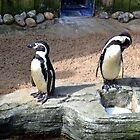 Penguins at Gweek  Cornwall by lynn carter