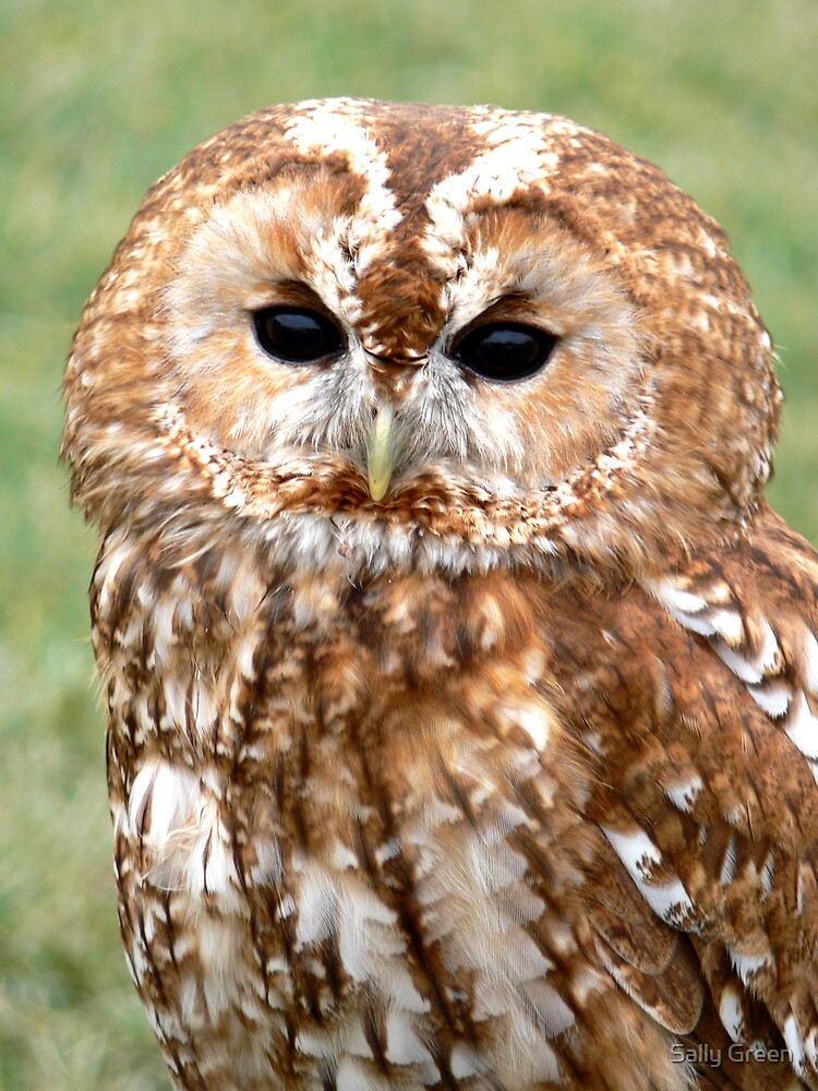 Tawny Owl by Sally Green