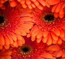 Orange Gerbera. Amsterdam Flower Market by JennyRainbow
