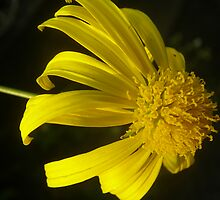 Yellow Gerbera by sstarlightss