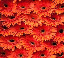 Orange Gerbera 1. Amsterdam Flower Market by JennyRainbow