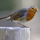 Robin 2 by Robert Kendall