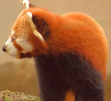 Red Panda by Rob Outram