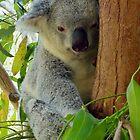 Tree Hugger Koala Australia by Sandra  Sengstock-Miller