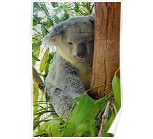 Tree Hugger Koala Australia Poster