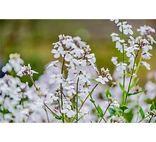 White Flowers Photographic Print