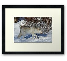 Rocky Mountain gray wolf Framed Print