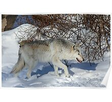 Rocky Mountain gray wolf Poster