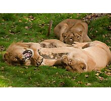 Stop Tickling Me (Asiatic Lion's) Dudley Zoo England Photographic Print
