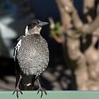 Young Australian Magpie 2 by lightphotos