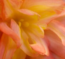 Begonia by J Harland