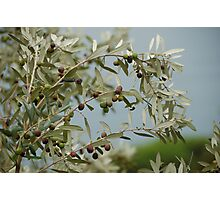 Ripe olives in Liguria Photographic Print