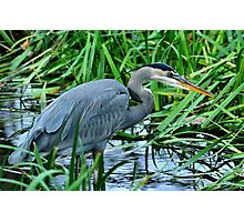 Great Blue on the Hunt Photographic Print