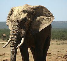 Elephant, Tembo by Manon Mispiratceguy