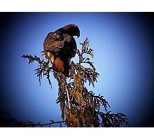 Hawk Sitting On Top Of Tree Photographic Print