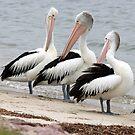 Pelican Trio by Kelly Robinson