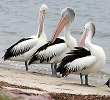 Pelican Trio by Kelly Robinson