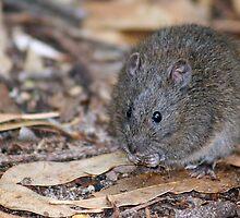 Swamp Rat by Neil Swenser