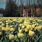 TULIPS AND FARM IN HDR by Johan  Nijenhuis