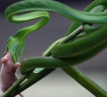 Vine snake feeding by ShotByArlo