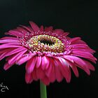 Pink Gerbera by Susan E. King
