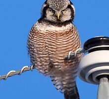 Northern Hawk Owl 4 by lloydsjourney