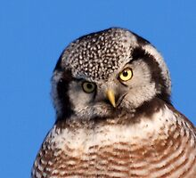 Northern Hawk Owl 5 by lloydsjourney