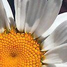 Shasta daisy by Sheri Nye