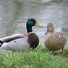 Mallard Ducks on the River Bank by angelfruit