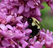 Bumble Bee in Redbud by Sosanna