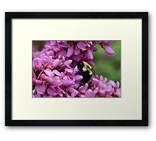 Bumble Bee in Redbud Framed Print