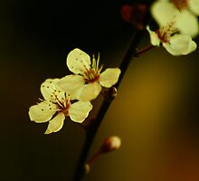 Cherry Blossom by Ingz